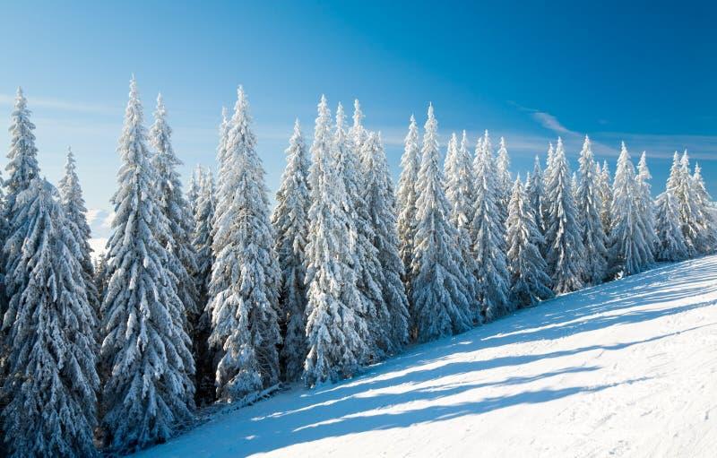 Árboles spruce del invierno imagen de archivo