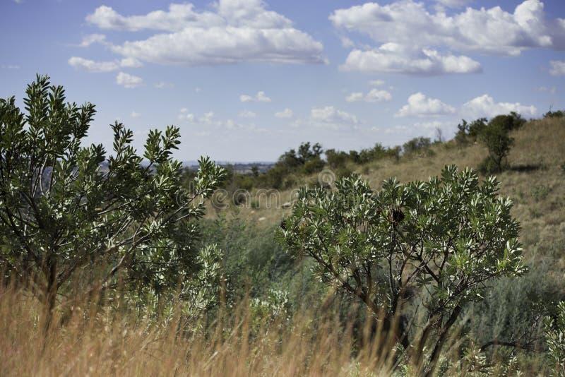 Árboles Suráfrica del Protea fotos de archivo