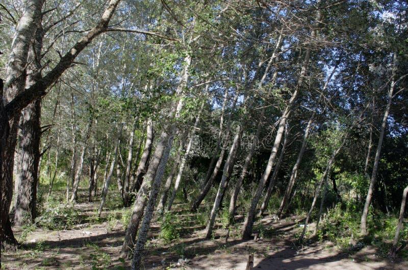 Árboles verde oscuro en bosque fotografía de archivo libre de regalías