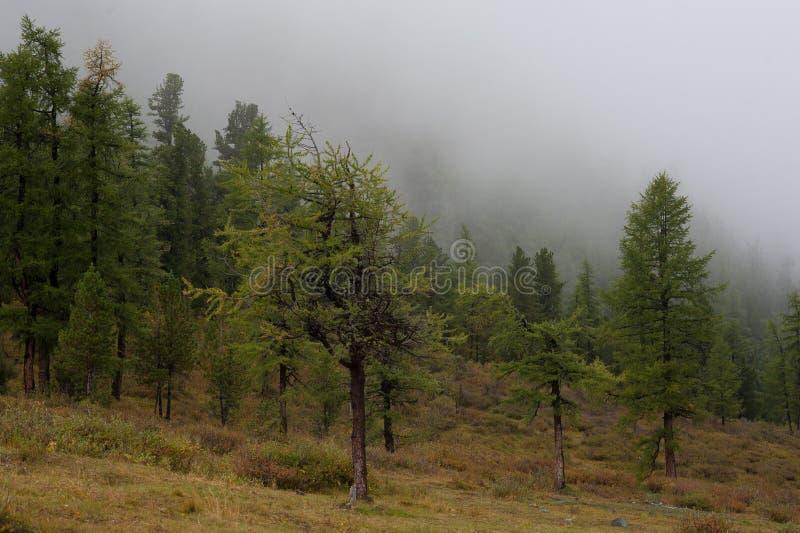 Árboles verdes en la niebla fotos de archivo libres de regalías