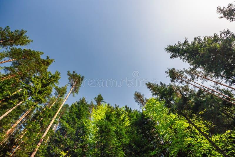 Árboles verdes frescos del bosque soñador en la madera hermosa de la montaña fotografía de archivo libre de regalías