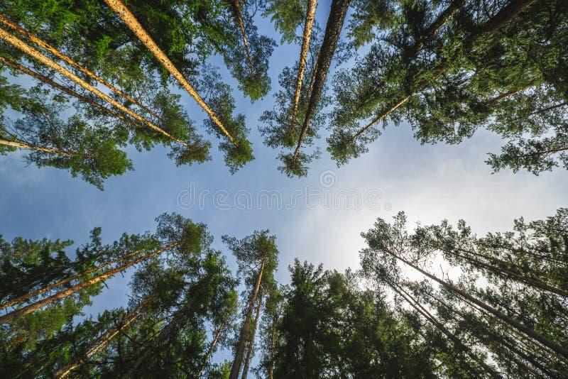 Árboles verdes frescos en la madera hermosa de la montaña fotos de archivo