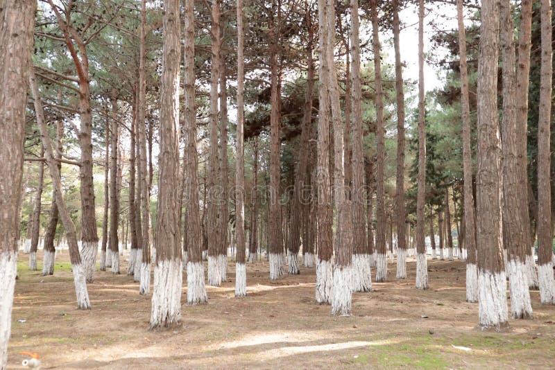 Árboles verdes sanos de pino del bosque verde majestuoso del árbol en un bosque foto de archivo libre de regalías