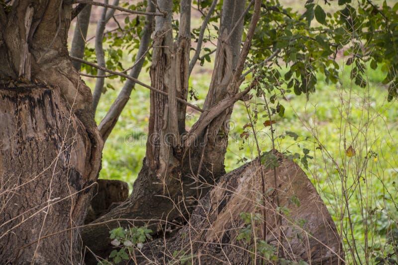 Árboles viejos con las raíces expuestas - raíces potentes fotografía de archivo libre de regalías