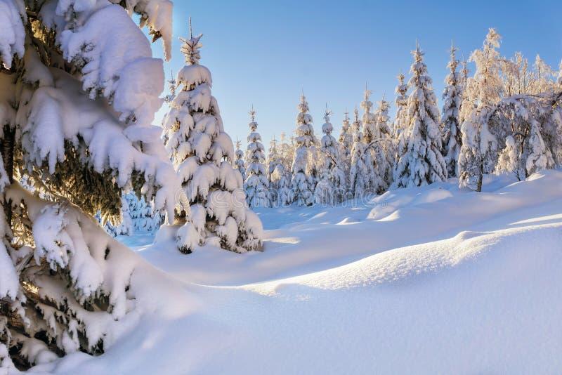 Árboles y alerces spruce nevados fotos de archivo
