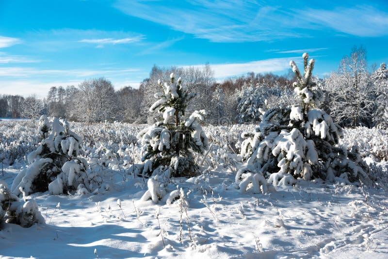 Árboles y arbustos cubiertos con nieve imágenes de archivo libres de regalías