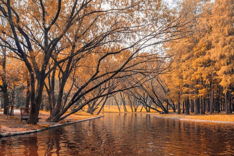 Árboles y lago amarillos en Shangai gongqing Forest Park en otoño imágenes de archivo libres de regalías