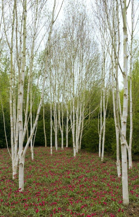 Árboles y tulipanes de abedul fotografía de archivo libre de regalías