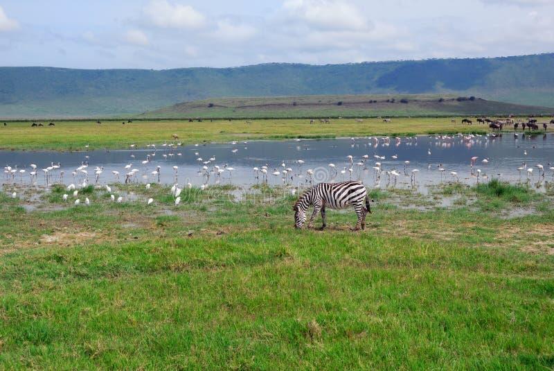 Área da conservação de Ngorongoro imagem de stock