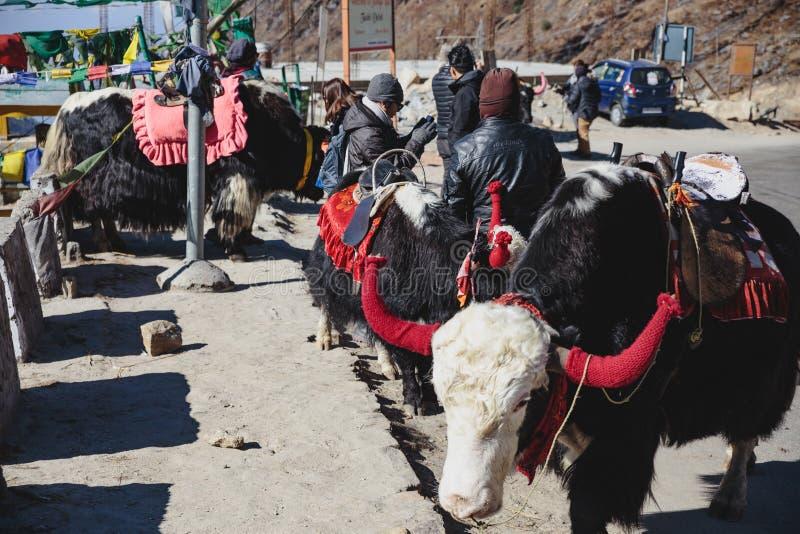 A área de repouso dos iaques para turistas monta no inverno em Tashi Delek perto de Gangtok Sikkim norte, Índia imagens de stock royalty free