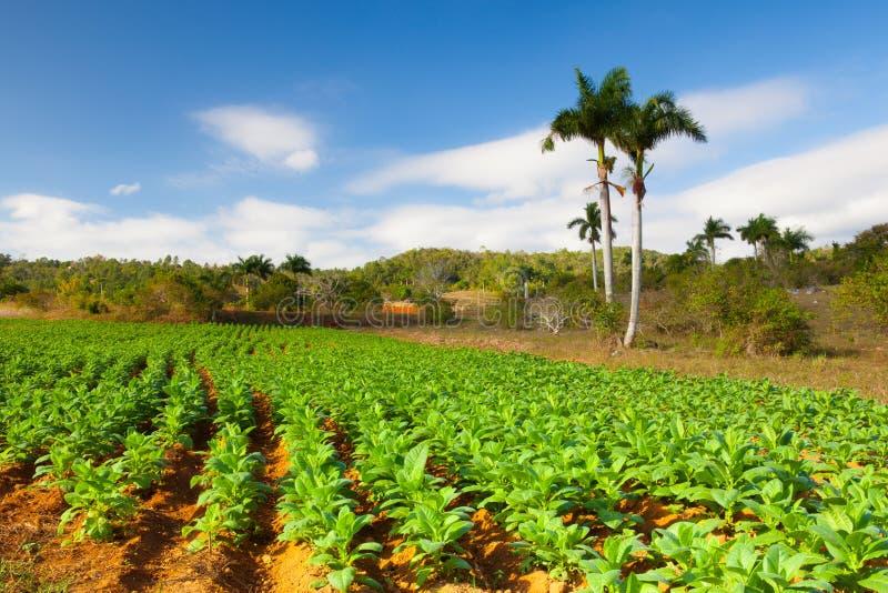 Área famosa do cigarro da terra de Cuba, Vale de Vinales, Cuba fotografia de stock