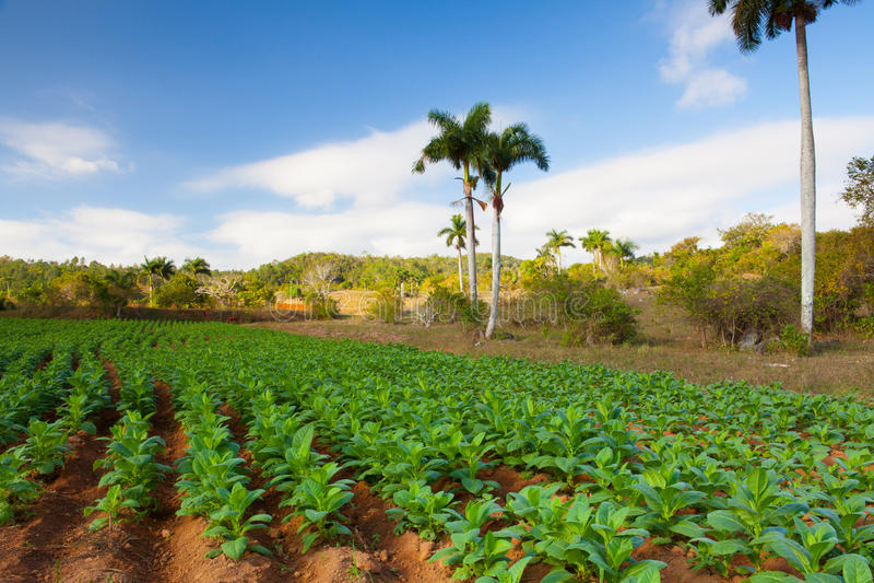 Área famosa do cigarro da terra de Cuba, Vale de Vinales, Cuba fotografia de stock royalty free