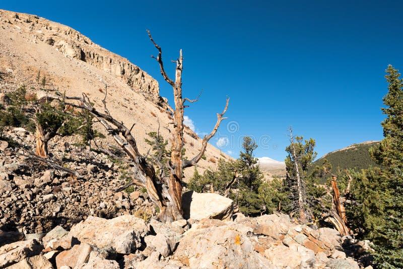Área nacional da herança com os pinheiros antigos do cone do pinho flexível e da cerda imagem de stock royalty free