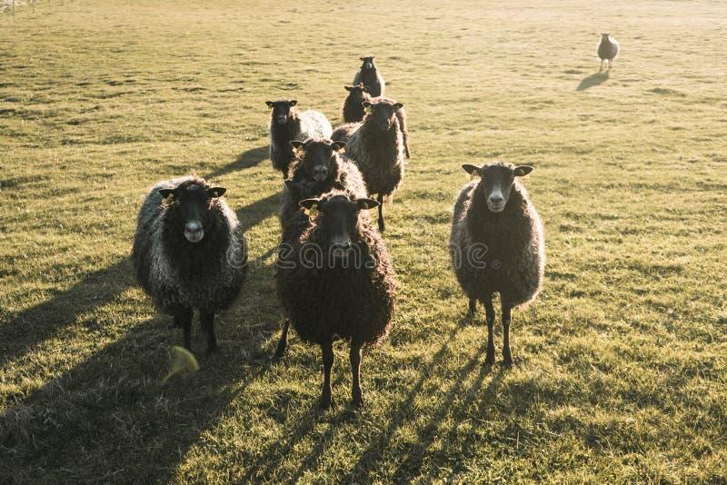 Área rural em Dinamarca com o rebanho dos carneiros fotos de stock royalty free