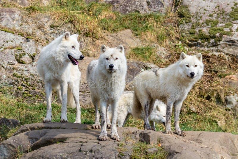 Ártico Wolfs en Parc Omega Canadá foto de archivo