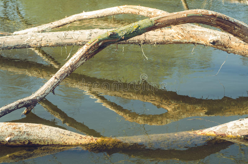 Árvore abatida por castores na água fotos de stock