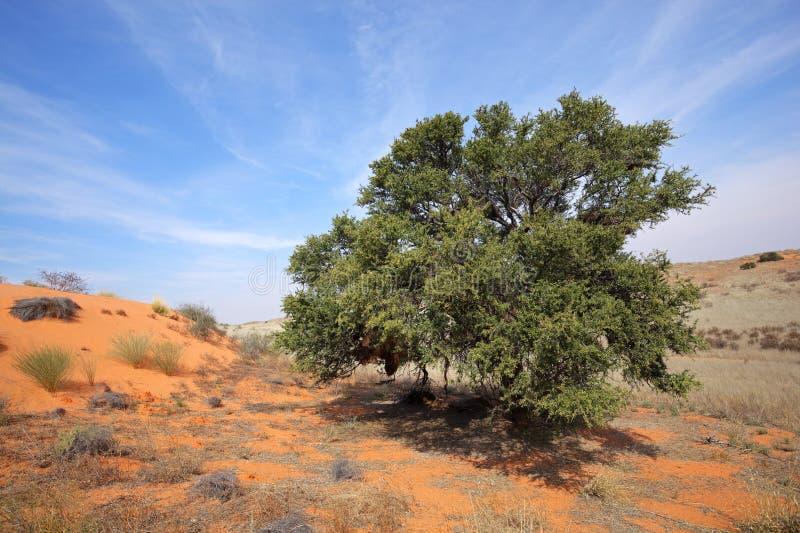 Árvore africana da acácia na duna imagens de stock
