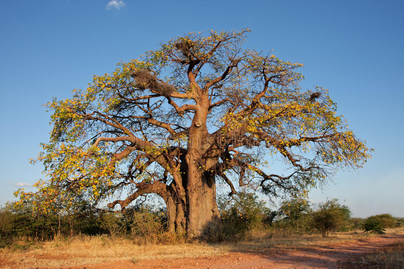 Árvore africana do baobab foto de stock royalty free