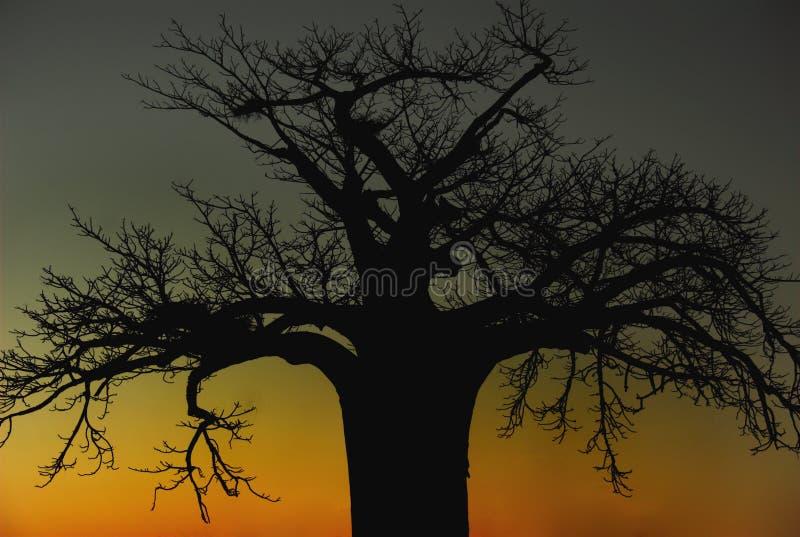 Árvore africana do Baobab imagem de stock royalty free