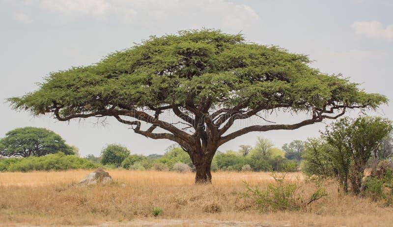 Árvore africana do baobab do Baobab em Zimbabwe África do Sul imagem de stock