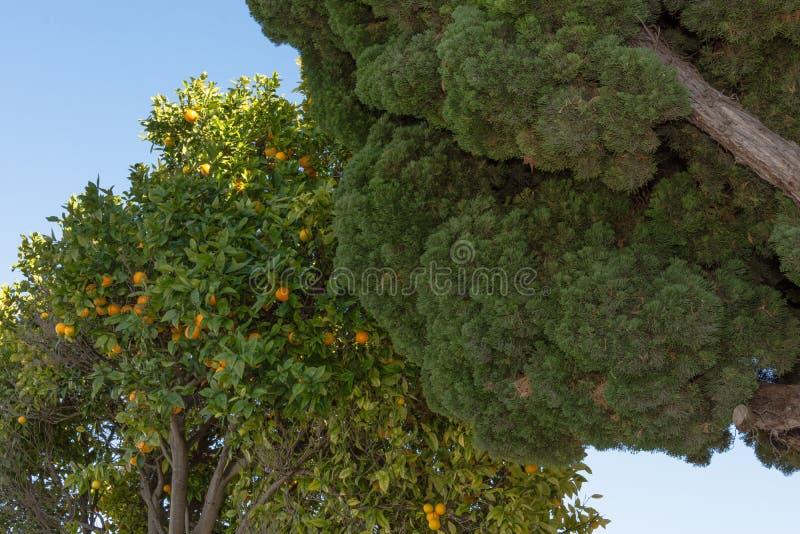 Árvore alaranjada ao lado de uma outra árvore foto de stock
