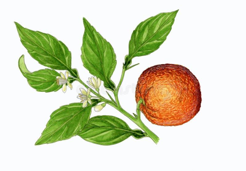 Árvore alaranjada (aurantium do citrino) ilustração royalty free