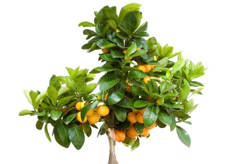 Árvore alaranjada com a fruta isolada foto de stock royalty free