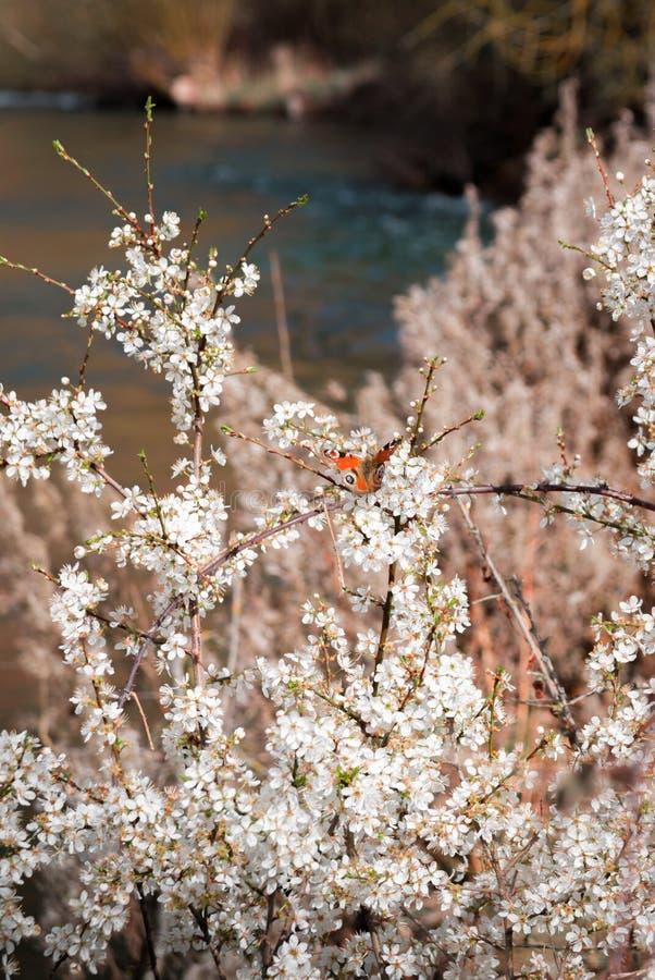 Árvore alaranjada da borboleta e de amêndoa com as flores de florescência brancas na paisagem do beira-rio foto de stock royalty free