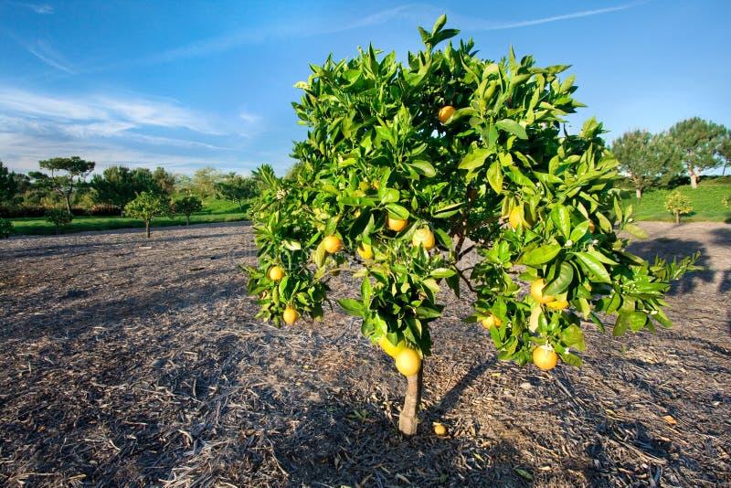 Árvore alaranjada em Califórnia imagens de stock royalty free