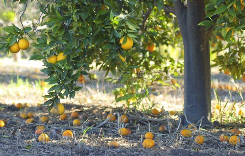 Árvore alaranjada em um jardim selvagem imagens de stock royalty free