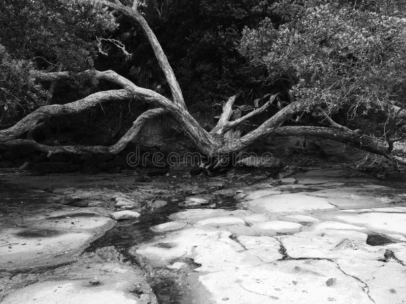Árvore alastrando foto de stock