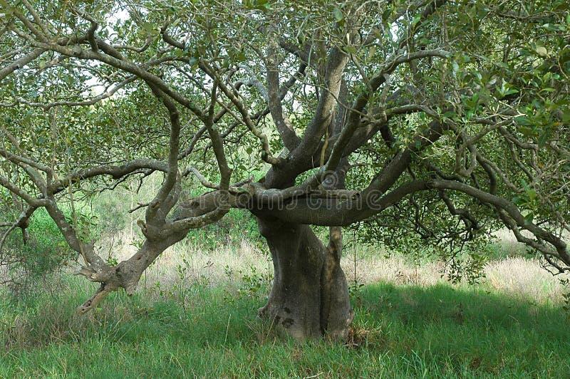 Árvore alastrando imagens de stock