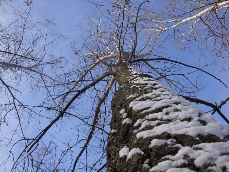 Árvore alta do inverno com casca, que é emplastrada com neve contra um céu azul imagens de stock royalty free