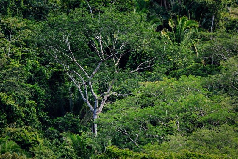 Árvore alta e samambaias na floresta úmida tropical da selva fotografia de stock royalty free