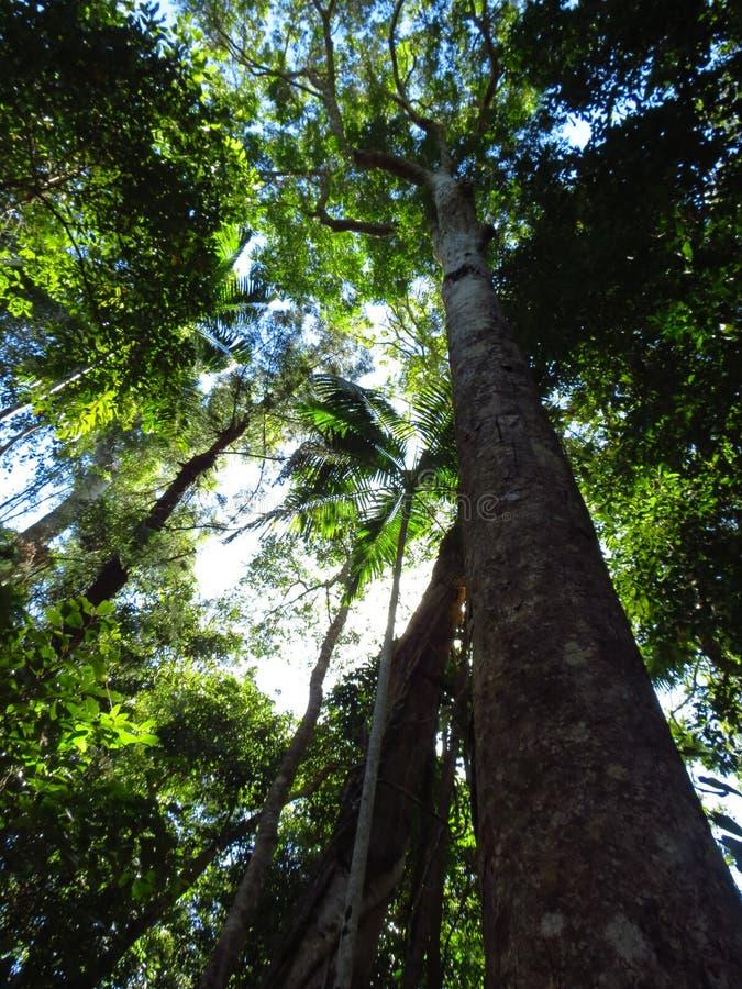 Árvore alta no parque nacional de Noosa imagem de stock