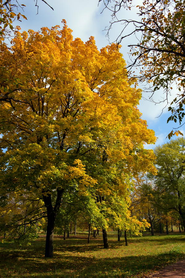 Árvore amarela fotografia de stock