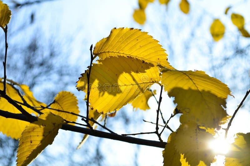 Árvore amarela brilhante contra o céu azul fotografia de stock