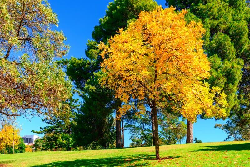 Árvore amarela brilhante no parque da cidade de Adelaide fotografia de stock royalty free