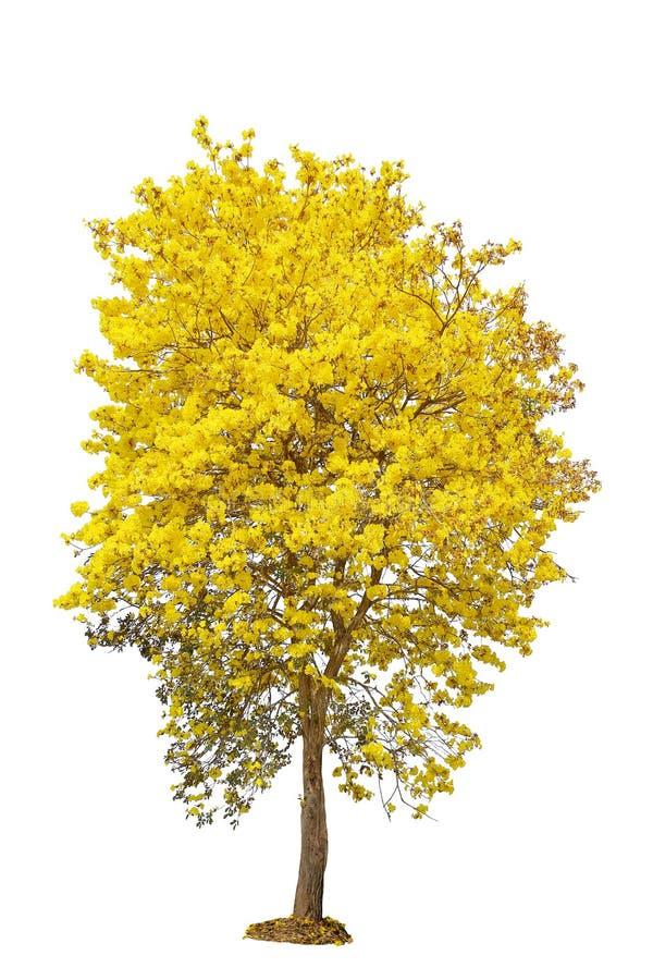 Árvore amarela da flor, trombeta dourada, tabebuia, árvore do ouro, isolador fotos de stock royalty free