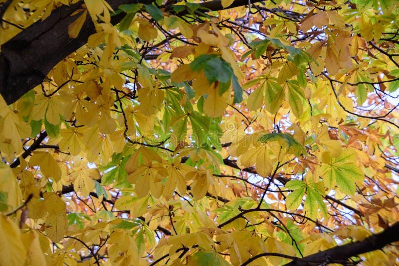 A árvore amarela da queda sae do fundo imagens de stock royalty free