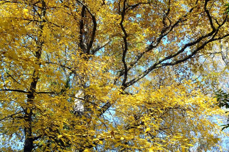 Árvore amarela das folhas de outono imagens de stock
