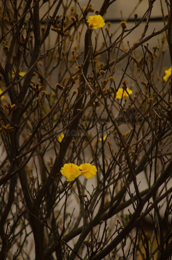 Árvore amarela do ipe imagens de stock