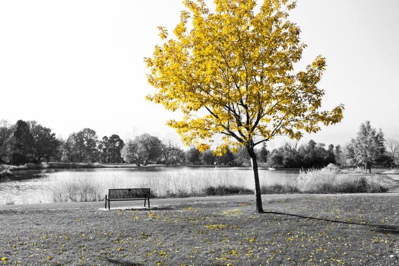 Árvore amarela sobre o banco de parque em preto e branco foto de stock royalty free