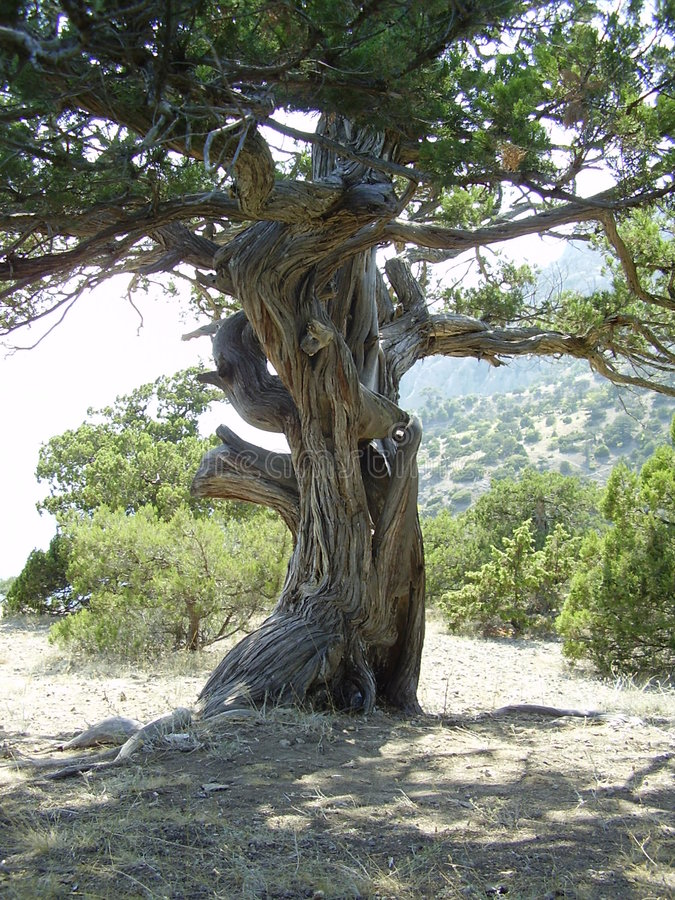 Árvore antiga fotos de stock