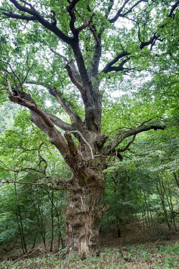 Árvore Antiga com Ramais Longos na Floresta fotos de stock
