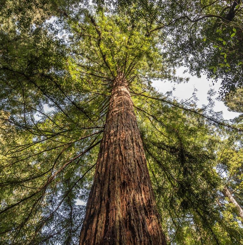 Árvore antiga da sequoia vermelha fotos de stock