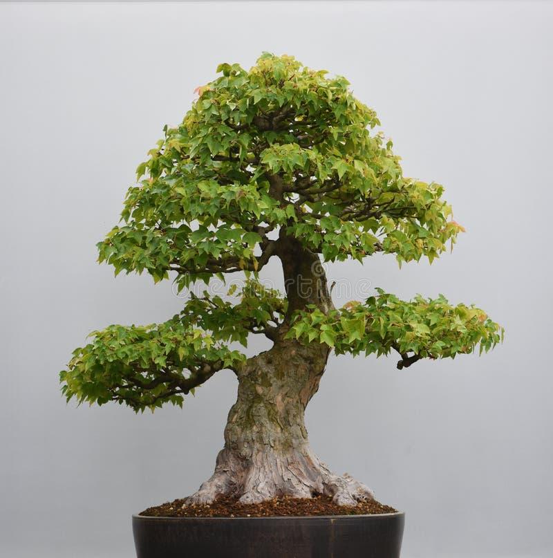 Árvore antiga de Bonsia foto de stock