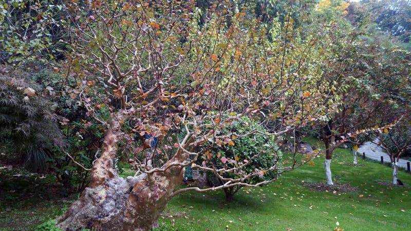 Árvore antiga em um parque chinês fotografia de stock