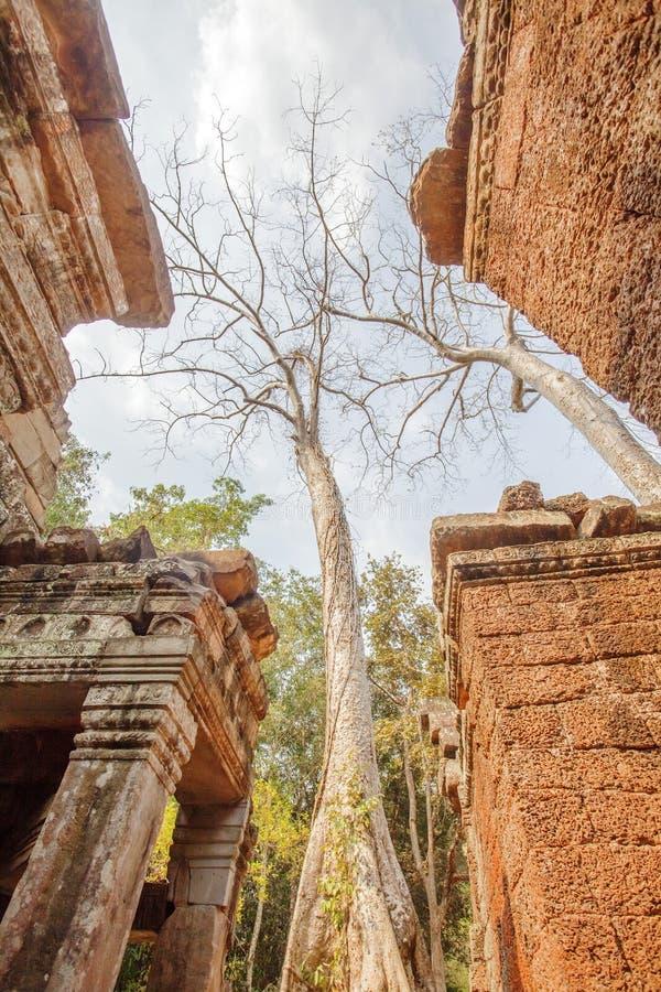 Árvore antiga Templo de Ta Prohm, Angkor Thom, Siem Reap, Camboja fotos de stock royalty free