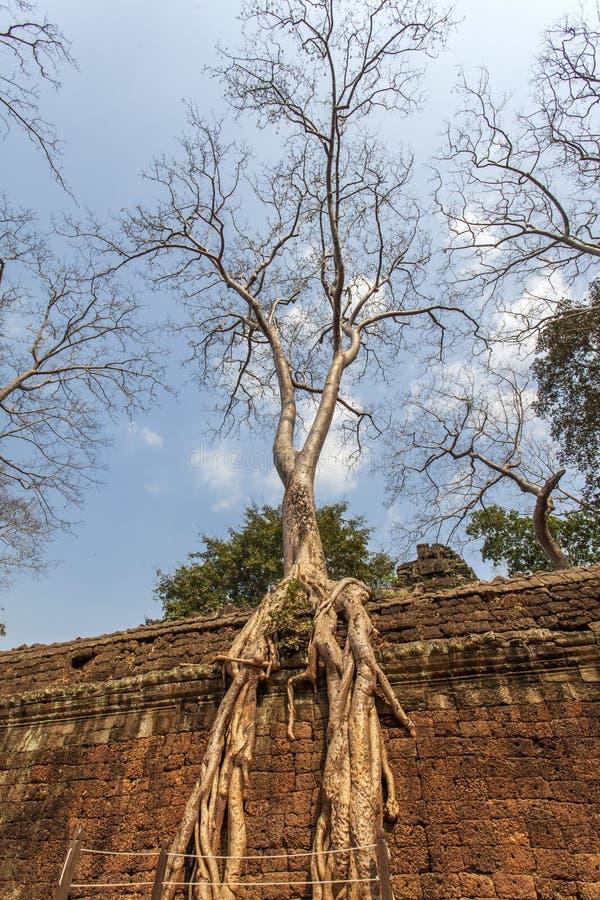 Árvore antiga Templo de Ta Prohm, Angkor Thom, Siem Reap, Camboja foto de stock